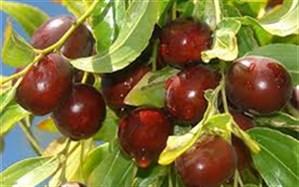 معاون بهبود تولیدات گیاهی جهادکشاورزی خراسانجنوبی  : کمیته قیمتگذاری محصول عناب امسال برای نخستین بار در استان  برگزارشد
