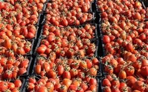 خرید ۷۶۰ تن گوجه فرنگی از کشاورزی آذربایجان غربی