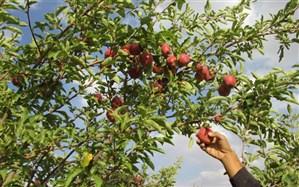 برداشت سیب از باغهای مهاباد ۶۰ درصد افزایش یافت