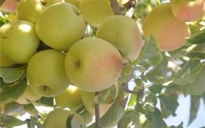 از توزیع رایگان در مدارس تا تسهیل صادرات؛ پیشنهادهایی برای عبور از بحران مازاد سیب در کشور