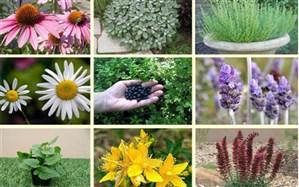 کاشت گیاهان دارویی در میبد مقرون به صرفه است