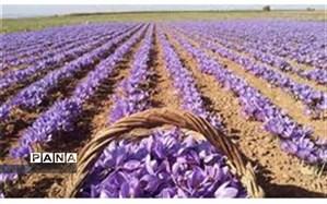 افزایش برداشت زعفران در خراسان شمالی