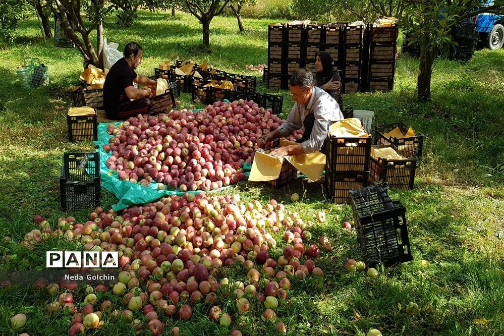 برداشت سیب در شهر ونایی بروجرد