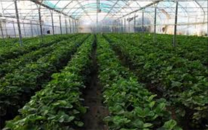 رئیس سازمان جهاد کشاورزی البرز: ۱۳ شهرک گلخانهای جدید در استان ساخته می شود