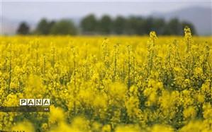 افزایش ۳۸ درصدی کاشت کلزا در قیروکارزین