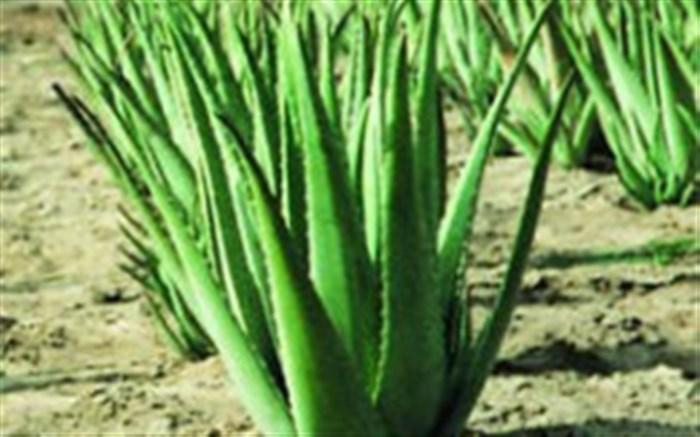 تولید بیش از  ۱۴۰۰ تن آلوئهورا در گیلان
