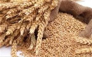 400 هکتار مزارع گندم یزد به آبیاری نواری تجهیز شد