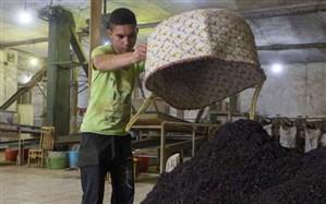 خرید افزون بر 126 هزار تن برگ سبز چای از چایکاران شمال کشور
