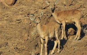 سرشماری حیات وحش در دره انجیره اردکان