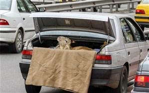 طرح ترافیک و دُمِ خروس ما ایرانیها!