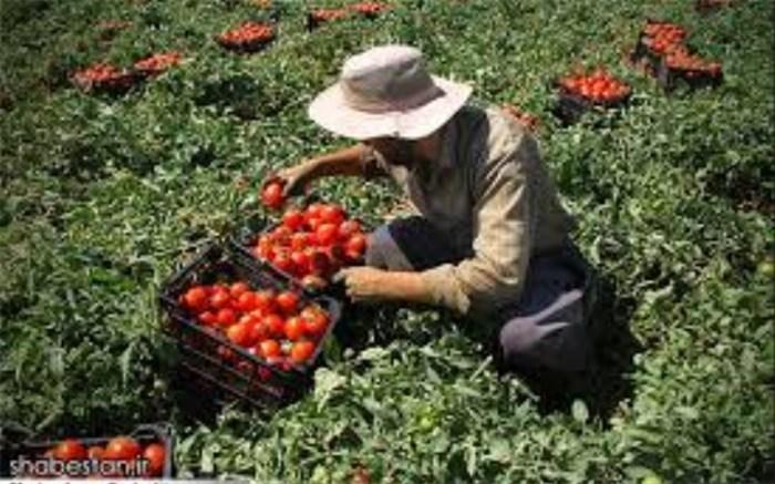باغات گوجه فرنگی