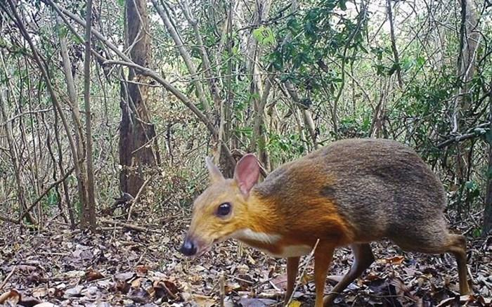 موش آهوی پشت نقره ای ویتنامی