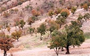 170 هزار هکتاراز جنگلهای زاگرس درگیر بیماریهای خطرناک