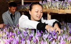 دلالان چینى در قالب توریست، زعفران ایران را به یغما می برند