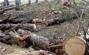قطع درختان ۵۰ ساله روستای بنادک سادات مهریز تکذیب شد