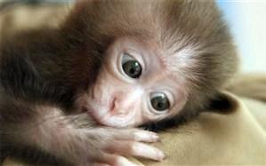 انسان، دشمن شماره یک میمونها