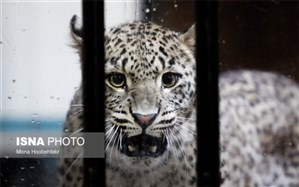 انتقال یک قلاده پلنگ ایرانی به باغ وحش ارم+ویدئو