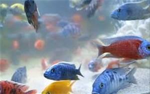 تولید سالیانه 6 میلیون قطعه ماهیان زینتی در آذربایجان شرقی