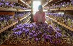 کارگاه آموزشی کاشت زعفران بدون خاک در استان یزد