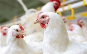 آنفولانزای پرندگان در کمین مرغداریها است