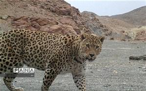 لرستان زیستگاهی مناسب برای پلنگ ایرانی