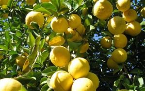 صادرات لیموترش و لیمو شیرین ممنوع شد