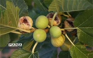 برداشت انجیر دیم  2.5 تُن در هکتار ، باغدار کازرونی را نمونه ملی کرد