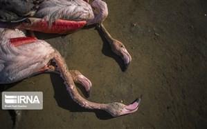 مسمومیت غذایی؛ علت مرگ پرندگان میانکاله