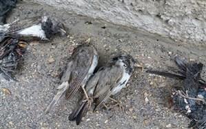 مسمومیت؛ احتمال مرگ دسته جمعی تعدادی از پرندگان در بجنورد