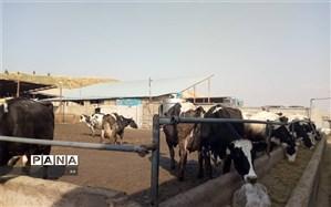 طرح پرواربندی ۱۰۰ راسی گوساله در الشتر افتتاح شد