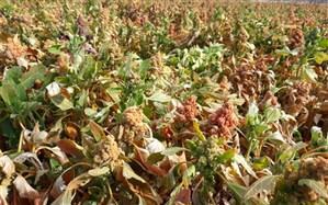 کاشت خاویار گیاهی برای اولین بار در نیریز