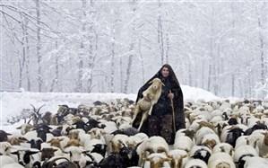 رفع گرفتاری چوپان و 500 گوسفندش