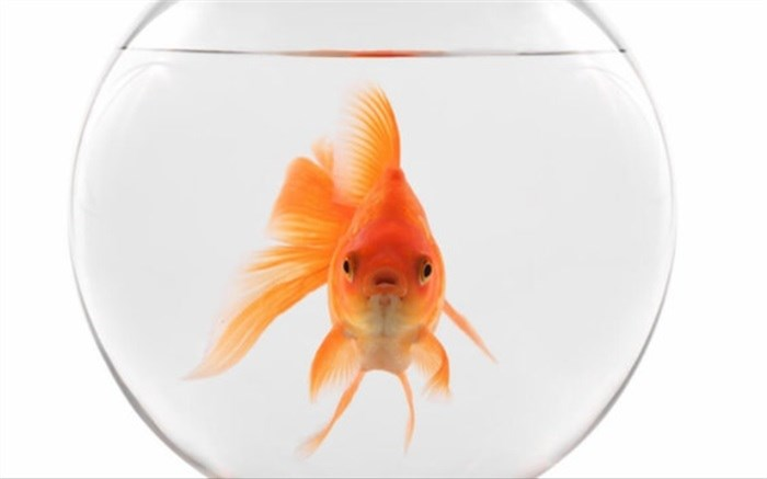 کرونا-ماهی قرمز