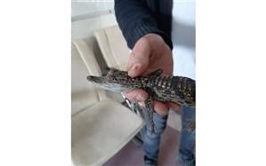 کشف و ضبط تمساح در ماموریت یگان حفاظت محیط زیست