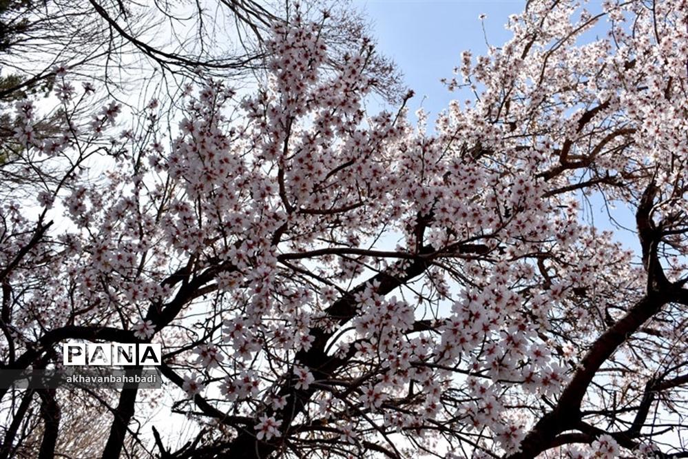 خلق طبیعتی زیبا با شکوفه درختان در بهاباد