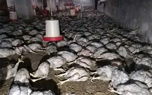تلف شدن بیش از ۶ هزار قطعه مرغ در آتشسوزی مرغداری در بوکان
