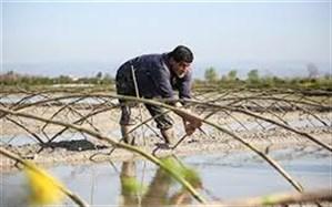 نخستین خزانه گیری برنج در گیلان