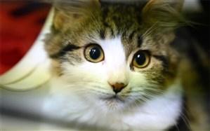 گربهها کرونا را به یکدیگر انتقال میدهند