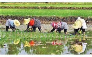 استفاده حداکثری از ماشین آلات کشاورزی در کشت برنج برای مقابله با کرونا