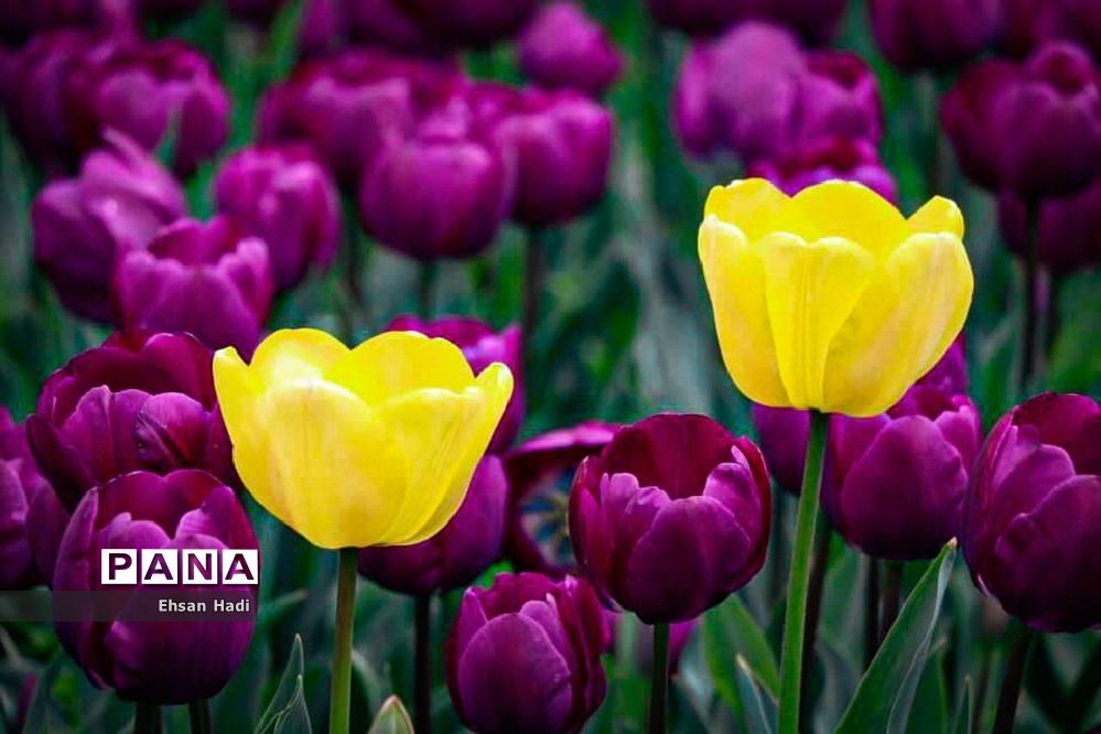 گلهای لاله در بوستان ملت