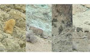 مشاهده و تصویربرداری از پلنگ و گربه پالاس در فیروزکوه