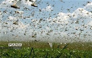 پیش بینی آلودگی ۱۶ هزار هکتار از اراضی گلستان به ملخ مراکشی
