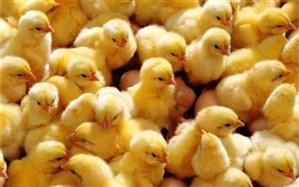 افزایش ۱۷ درصد ی جوجهریزی در استان اردبیل