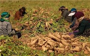 حمایت جهاد کشاورزی فارس از کاشت چغندر قند