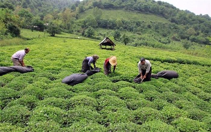 آغاز برداشت برگ سبز چای در بخش کومله