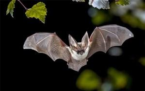 خفاشها کروناویروس را حمل میکنند بدون آنکه بیمار شوند