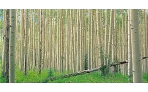 صنوبرکاری در ۱۸ هزار هکتار از اراضی جلگهای گیلان
