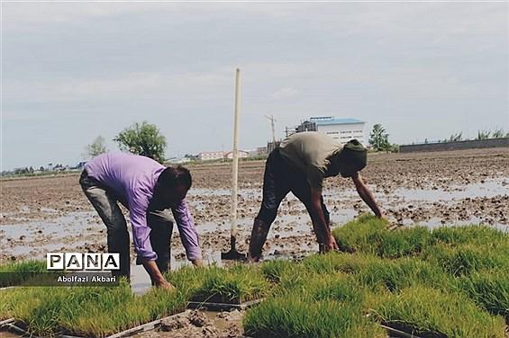 نشا برنج در روستای للهمرز شهرستان ساری