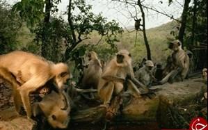عکس روز نشنال جئوگرافیک از آب بازی میمونها در پارک ملی هند