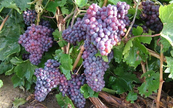انگور یاقوتی سیستان زودرس ترین انگور کشور راهی بازار می شود